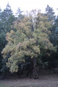 morocco_tree
